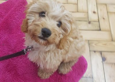 cavapoo puppy at superhounds training classes