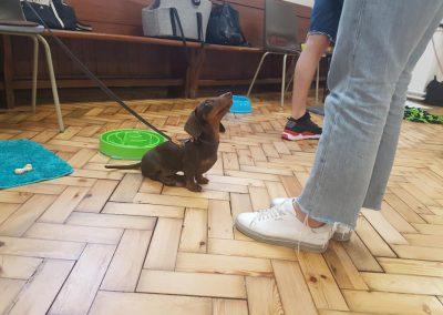 puppy classes mini dachshund training streatham balham brixton